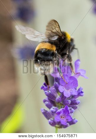 A Bumblebee hovering above a Lavender as it collects pollen