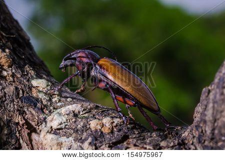 Longhorn Beetle (rhaphipodus Fruhstorferi), Beetle