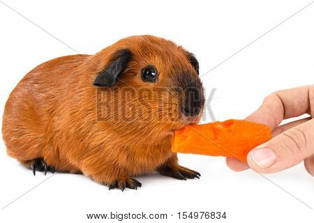 hand feeding guinea pig with fresh carrot on white background