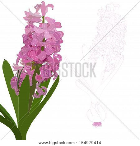Vector illustration. Pink hyacinth. Isolated contour of the flower on a white background.