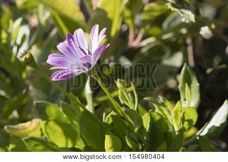 Aster In Bloom In The Garden