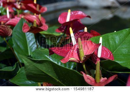 Anthurium flower Red color. Blossoming plant of Anthurium/Flamingo flowers.