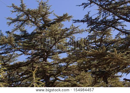 Lebanese cedar pinecone in the forest in the mountains, Turkey