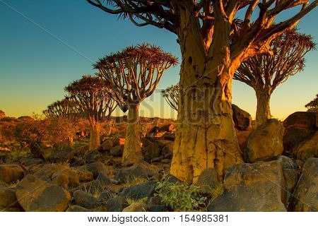 Quiver Tree Forest near Keetmanshoop in Southern Namibia