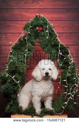 Poodle Making Wish