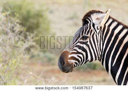 Headshot Photo Of A Burchells Zebra