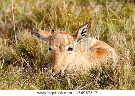 Newborn Red Hartebeest Sitting In The Grass
