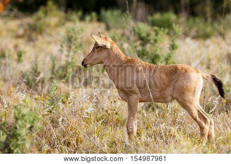 Newborn Red Hartebeest Standing Like A Dog