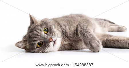 The gray cat lies on one side with open eyes. It is isolated on a white background the small depth of sharpness focus on a forepaw