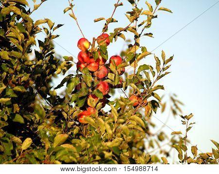 Apfelbaum, Obst, Herbst, Vitamine, Ernte, Apfel., Garten