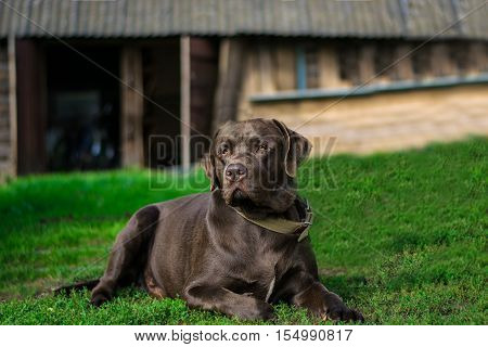 Chocolate labrador portrait lying on the grass