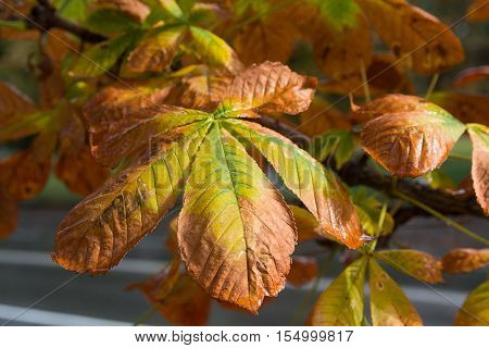Yellowed leaves of chestnut in autumn close-up. Nature