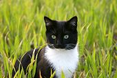 alert black and white cat sitting in a field of green wheat **Note slight  blurriness, best at small sizes. poster