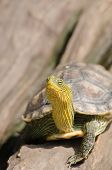 Terrapin is used to describe several species of small edible hard-shell turtles typically those found in brackish waters and is an Algonquian word for turtle. poster