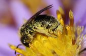 A bee is fully covered with pollen poster