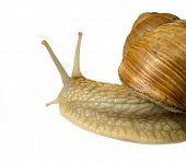 grape snail on white background poster