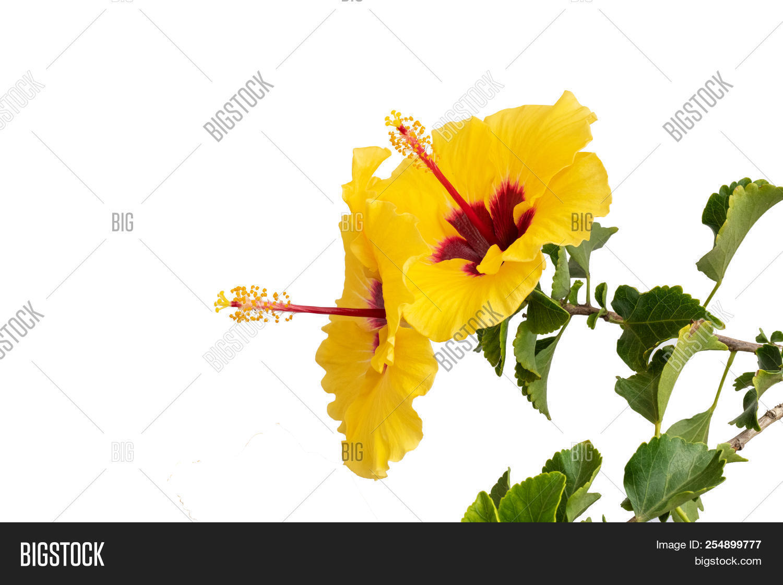 Pair Yellow Hibiscus Image Photo Free Trial Bigstock