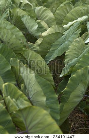 Giant Taro.Giant Taro,Alocasia Indica Green bushes, biennial plants, Big green leaf Used as a feed.