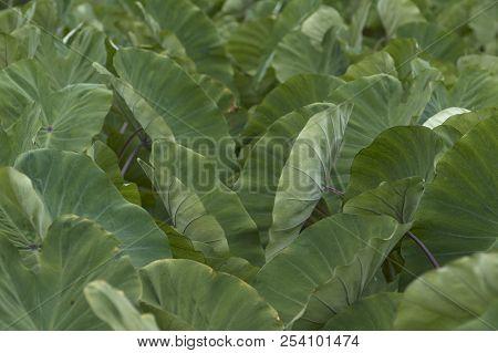 Giant Taro.giant Taro, Alocasia Indica Green Bushes, Biennial Plants, Big Green