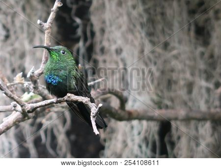 Photography Of A Green-throated Carib (scientific Name: Eulampis Holosericeus)