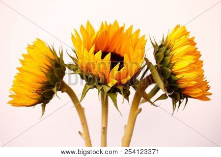 Portrait Of Three Sunflowers On The White Background. Macro Photography Of Nature.