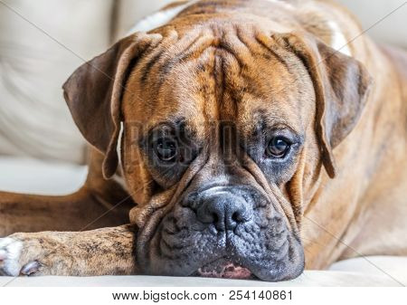 Portrait Of A Young Male Breed German Boxer Close-up, Bright Photo, Beautiful Dog, Intelligent Eyes