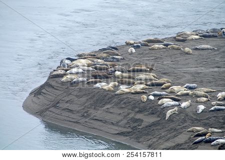 Harbor Seals Hauled Out On A Sandy Beach In Northern Ca On An Over Cast Day. When Not Actively Feedi