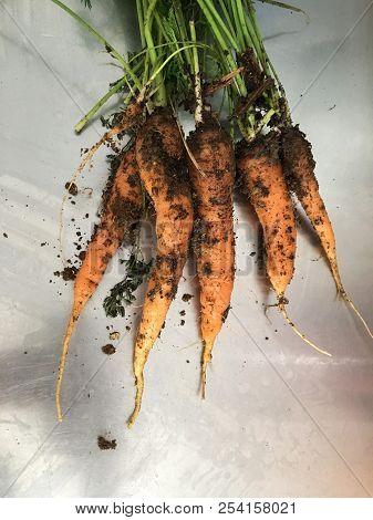 Fresh Carrots Bunch On Metallic Table. Raw Fresh Carrots With Tails. Fresh Organic Carrots With Leav