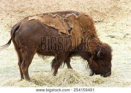 American Bison Standing Eating Grass Hay. The American Bison, Known As The American Buffalo Or Simpl