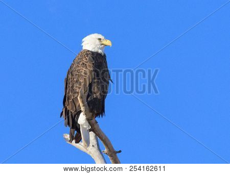 Adult Bald Eagle Perched In A Tree.