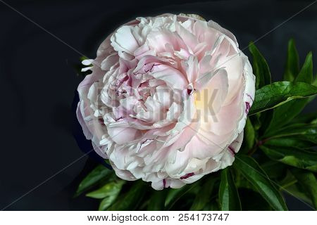 Beautiful Gentle White-pink Peony Close Up On A Black Background Isolated With Green Leaves. Flowers