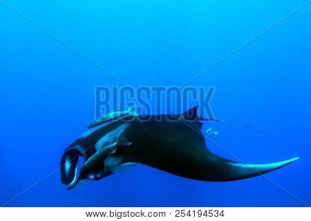 Pacific Manta Ray (manta Birostris) In The Blue. Cano Island, Costa Rica