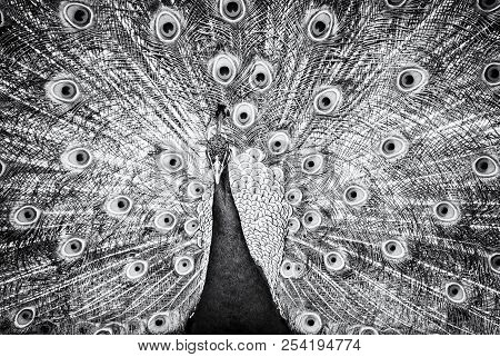 Indian Peafowl - Pavo Cristatus Displaying. Animal Scene. Beauty In Nature. Black And White Photo.