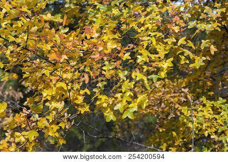 Foliage Of Montpellier Maple, Acer Monspessulanum, Photo Taken In Guadalajara Province, Spain.