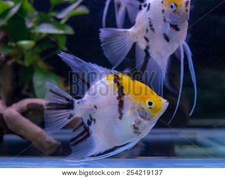 Beautiful White Tiger Angel Fish Swim In Aquarium Tank Pet