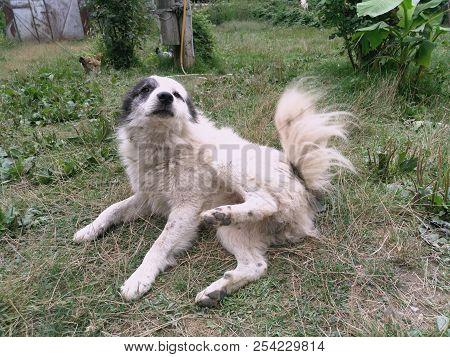 White Black-haired Yard Dog. Gray Dog . White Black Little Hairy Dog. The Dog Shriveled . There Is F