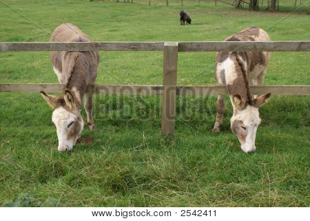 Donkeys grazing through a wooden fence. Farm animals eating grass in farm/ field. shape. balance. poster