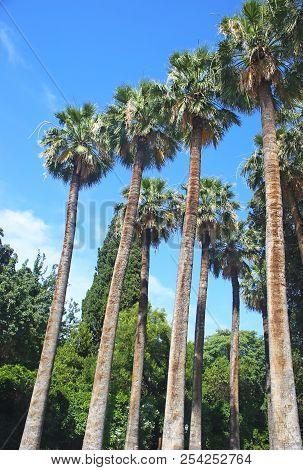 Tall Palm Trees At The National Garden Of Athens Greece - Blue Sky Background