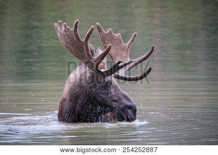 Shiras Bull Moose In A Lake. Colorado Rocky Mountain Wildlife