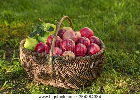Apple Harvest. Ripe Red Apples In The Basket On The Green Grass. Apple Harvest. Ripe Red Apples