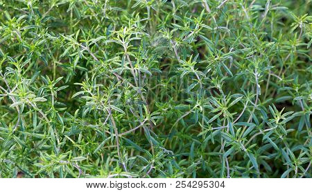 Fresh Green Savory Plant. Summer Savory Background - Bush Garden