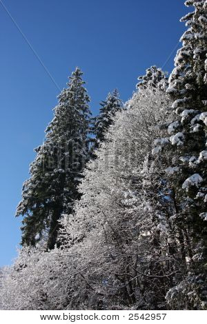 Snow covered pine trees outdoors in winter poster