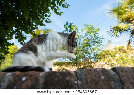 Cat washs oneself - citizen of Montalcino, ancient center of city. Tuscany holidays. Italy holidays in Tuscany, Italy, Europe. Vacation in beautiful Italy.  poster