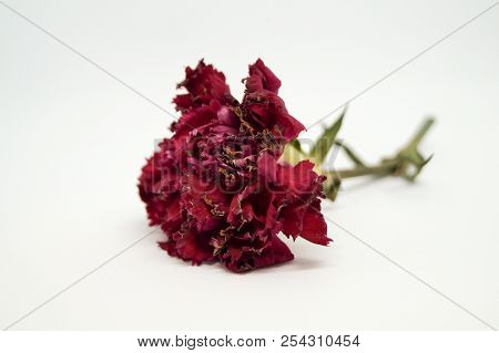 Red carnation is wilting and isolated white background. Carnation petals tip are drying. poster
