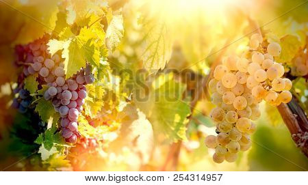 Grape - White And Red Grapes (riesling Wine Grape) On Vines, On Grapevine In Vineyard