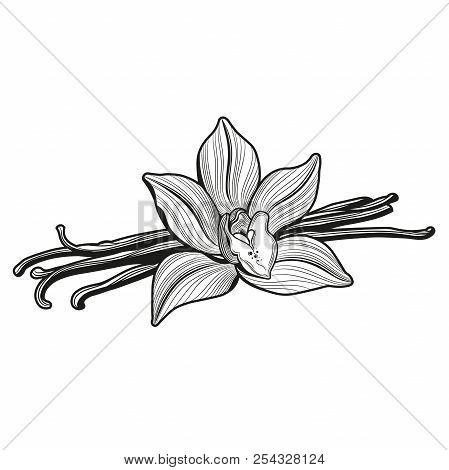 Vanilla Flower And Vanilla Pods And Vanilla Flower. Vector Illustration. The Isolated Image On A Whi