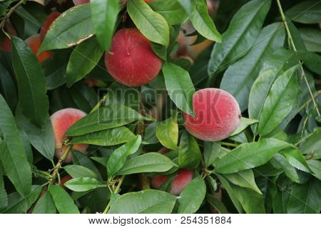 Peach Fruits On A Plant In A Greenhouse Nursery In Moerkapelle In The Netherlands