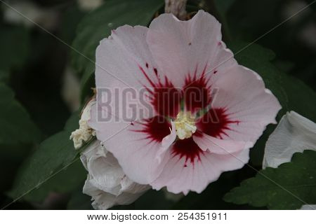 White And Pink Hibiscus Flowers In A Greenhouse Nursery In Moerkapelle In The Netherlands
