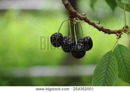Blue Cherries In A Greenhouse In Moerkapelle With Sweet Taste In Netherlands.