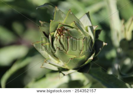 Artichoke Growing In A Garden In Park Hitland In The Netherlands.
